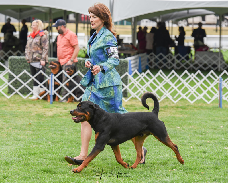 Rottweiler Leto - Wins Juvenile Sweeps Rottweiler Club of Canada Specialty 2017