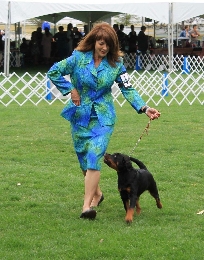 Rottweiler Puppy London strutting her stuff in the show ring